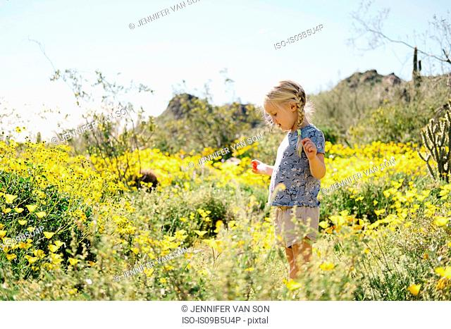 Girl in wildflowers meadow looking at flowers, Wadell, Arizona, USA
