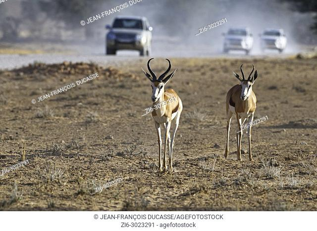 Springboks (Antidorcas marsupialis), male and female, moving on arid ground, vehicles on a dirt road at back, Kgalagadi Transfrontier Park, Northern Cape