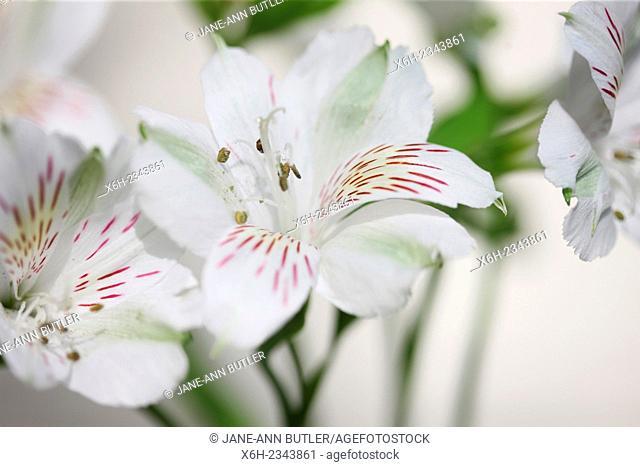 white alstroemeria symbolizes friendship and devotion