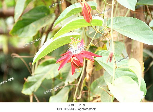 Red Passion Flower, São Paulo, Brasil