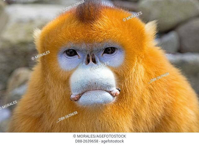 Asia, China, Shaanxi province, Qinling Mountains, Golden Snub-nosed Monkey (Rhinopithecus roxellana), adult male