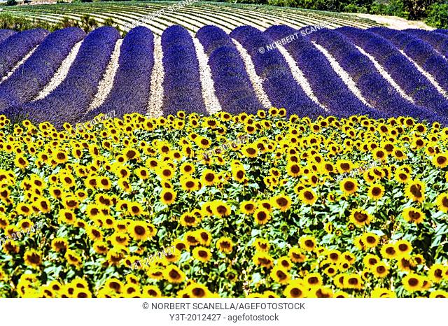 Europe, France, Alpes-de-Haute-Provence, 04, Regional Natural Park of Verdon, Valensole field of sunflowers and lavender