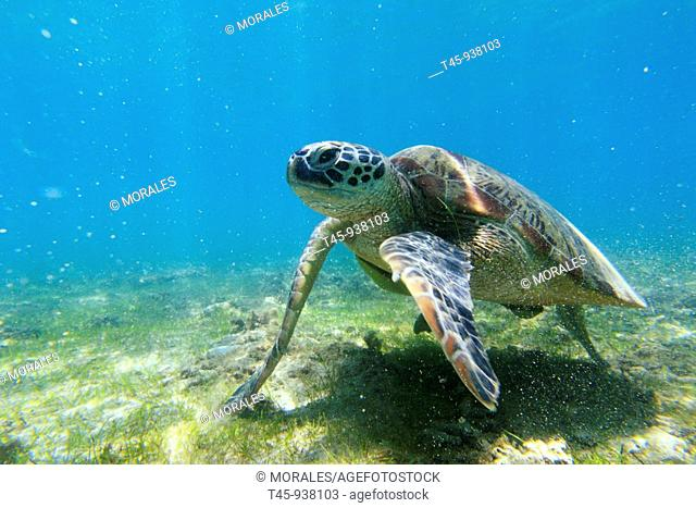 Green Turtle (Chelonia mydas), Mayotte, Comoros archipelago, France