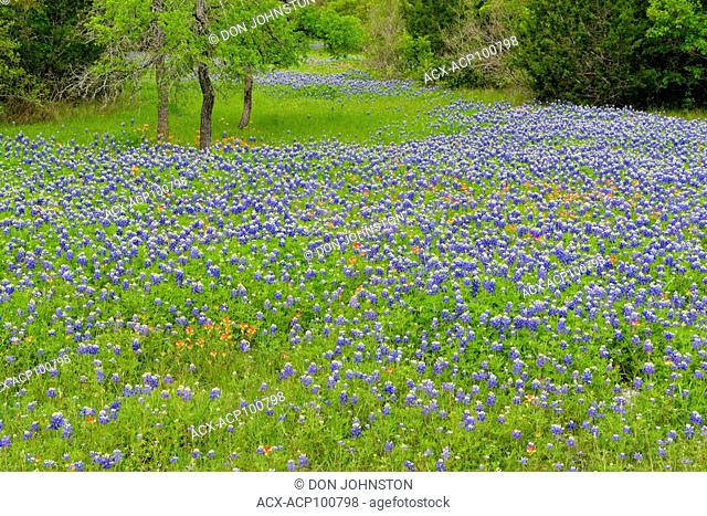 Spring wildflowers (bluebonnets) on residential grounds, Hudson Bend (Austin), Texas, USA