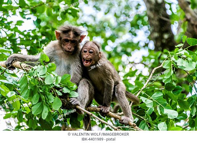 Rhesus macaques (Macaca mulatta) sitting on branch, Mudumalai National Park and Wildlife Sanctuary, Tamil Nadu, India