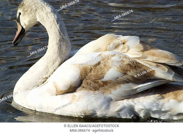 Swan with brown and white feathers swimming in a pond