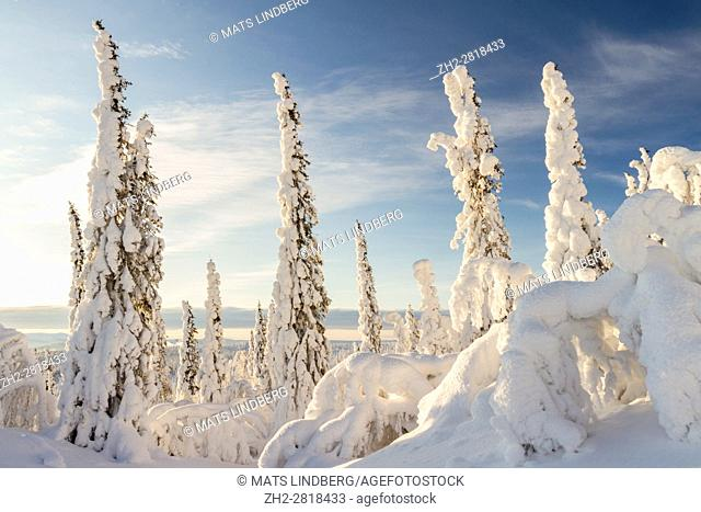 Winter landscape with plenty of snow hanging on the spruce trees, sun is shining with blue sky, Gällivare, Swedish Lapland, Sweden