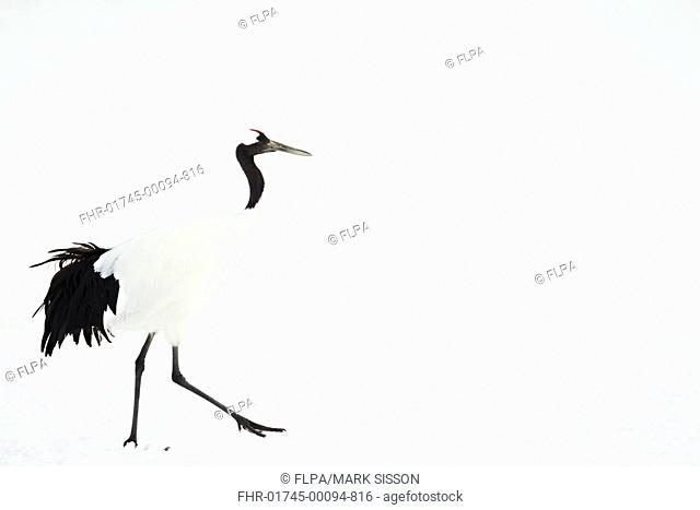 Japanese Red-crowned Crane (Grus japonensis) adult, walking in snow, Hokkaido, Japan, February
