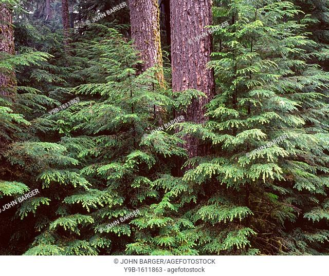 Western hemlock saplings and large trunks of western hemlock and Douglas fir, Sol Duc Valley, Olympic National Park, Washington, USA