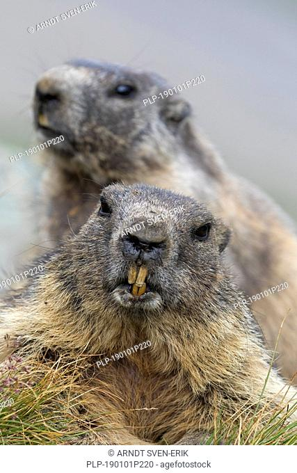 Close-up of Alpine marmot (Marmota marmota) couple showing large sharp incisors / front teeth
