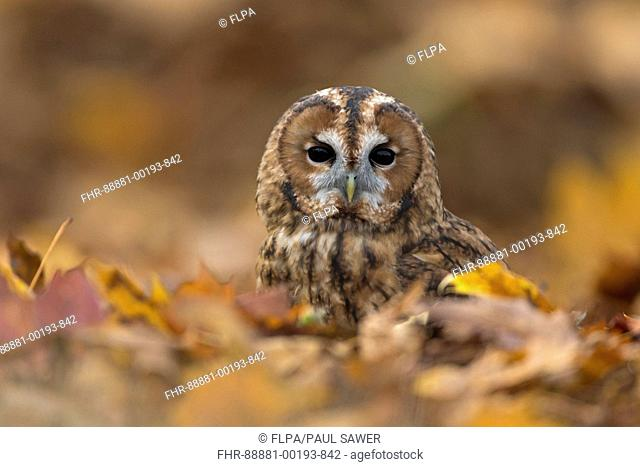 Tawny Owl (Strix aluco) adult, perched on woodland floor among autumn leaves, Suffolk, England, November, controlled subject