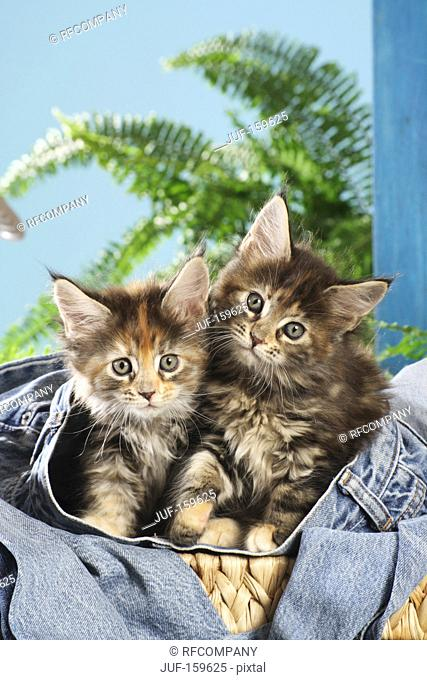 Maine Coon cat - two kittens in a jeans