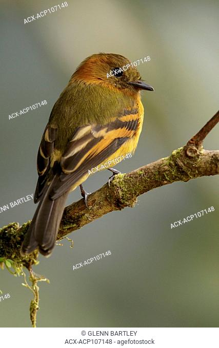 Cinnamon Flycatcher (Pyrrhomyias cinnamomea) perched on a branch in the mountains of Colombia, South America