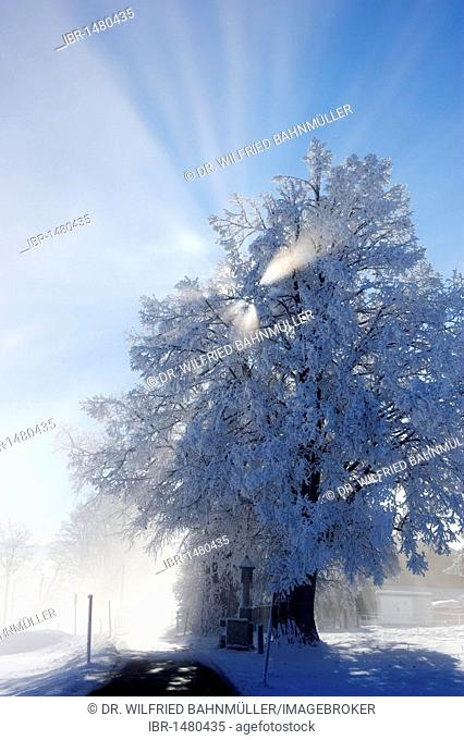 Trees, frost, Stadlberg near Miesbach, Upper Bavaria, Bavaria, Germany, Europe