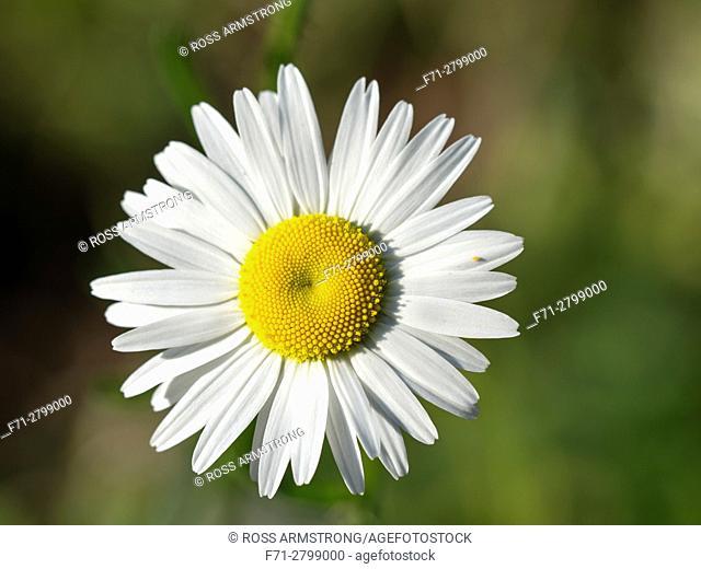 Tiny bug on petal of common daisy (Bellis perennis). Northland, New Zealand