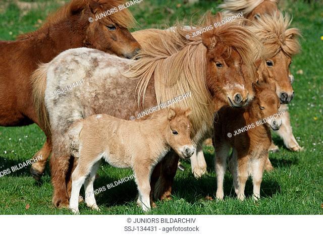 Mini Shetlandponies with foals on meadow