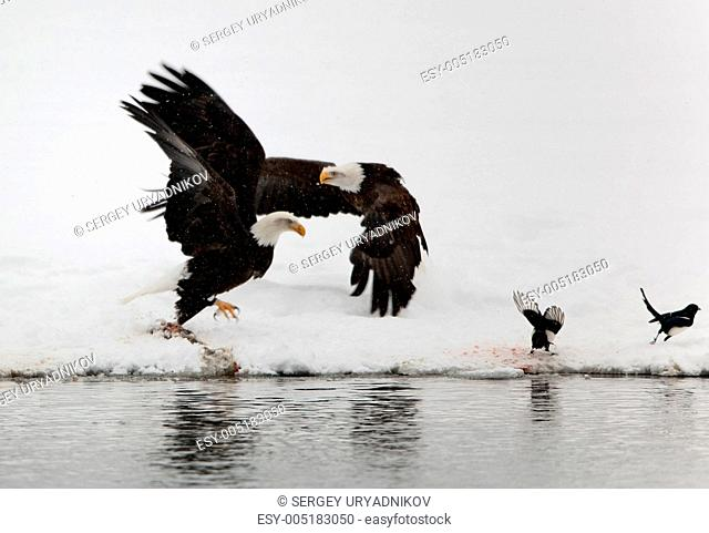 Two flying up Bald Eagles and two magpies