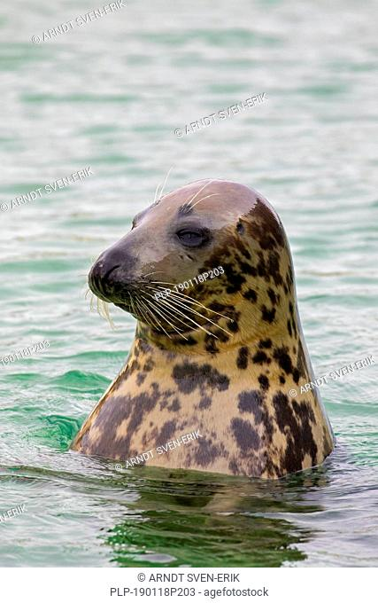 Grey seal / gray seal (Halichoerus grypus) swimming in sea. Close-up of head. Close-up of head showing large whiskers
