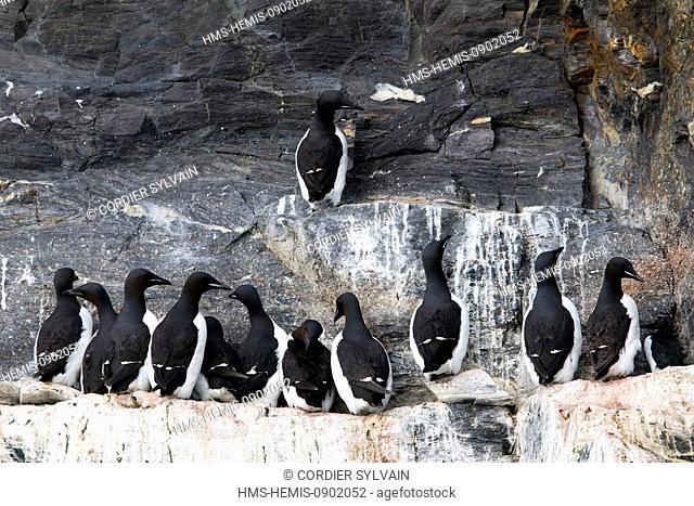 Norway, Svalbard, Spitsbergern, Rocks, Bird colony, Thick billed Murre or Brunnich's Guillemot (Uria lomvia)