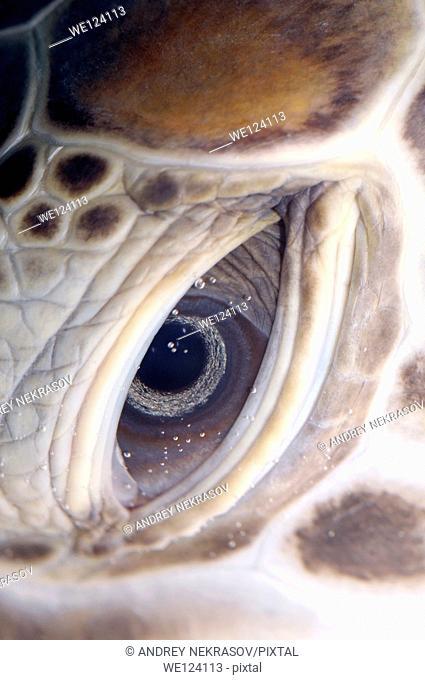 Eye green sea turtle (Chelonia mydas), Red Sea, Hurghada, Egypt, Africa
