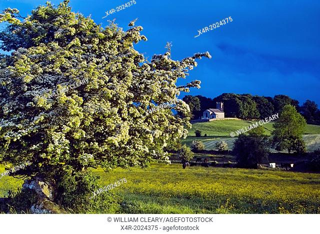 Hawthorn tree in flower, with Church in background, near Loughnavalley, County Westmeath, Ireland