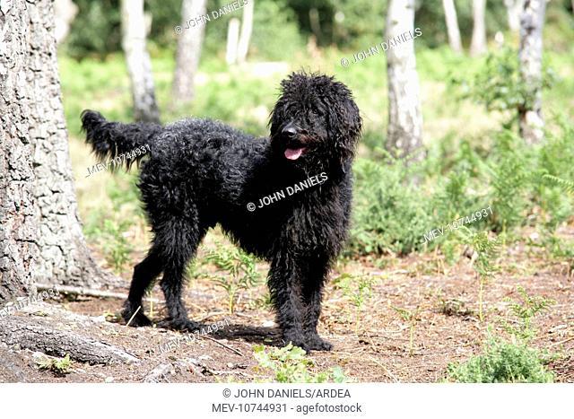 Black labradoodle - in woodland
