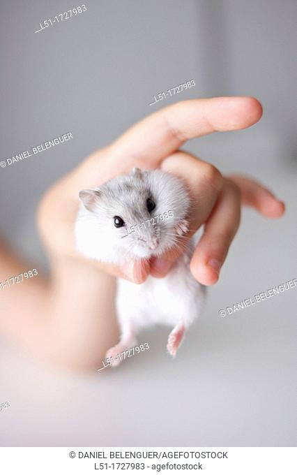 hand of child holding a russian hamster