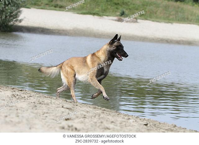 Dog Belgian shepherd Malinois adult Run by the lake