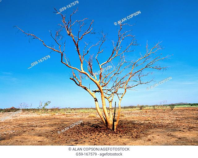 Burnt tree. Northern Territory. Australia