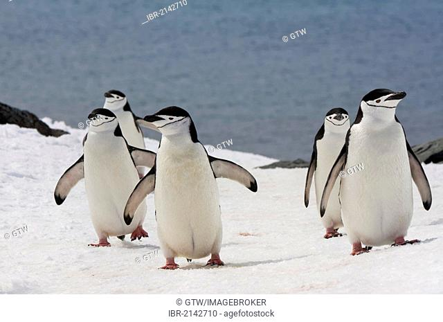 Chinstrap penguins (Pygoscelis antarctica) walking up a glacial ice cap, Half Moon Island, South Shetland Island, Antarctic Peninsula