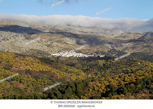 The white village of Cartajima above the Genal river valley with its Sweet Chestnut trees (Castanea sativa) in autumn, Serranía de Ronda, Málaga province