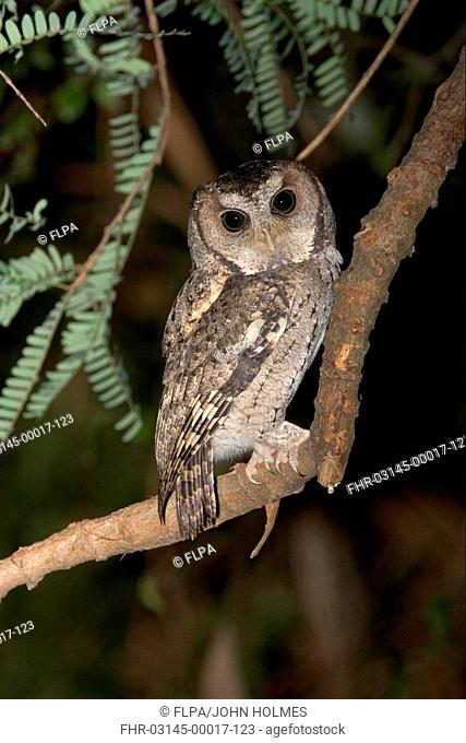 Collared Scops-owl Otus lempiji Adult at night - New Territories, Hong Kong, China