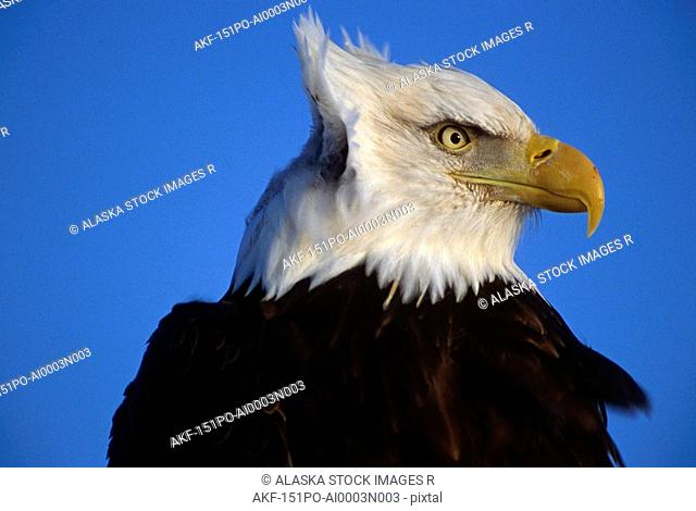 Bald Eagle Portrait Alaska
