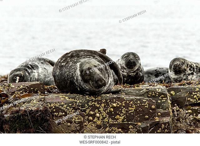 United Kingdom, England, Northumberland, Farne Islands, Atlantic grey seals, Halichoerus grypus
