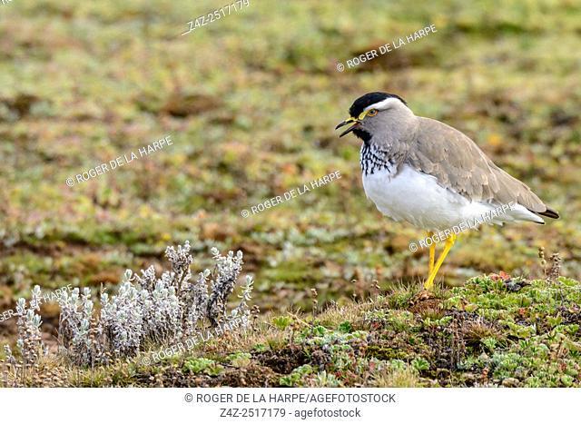 Spot-breasted Lapwing (Vanellus melanocephalus). Bale Mountains National Park. Ethiopia