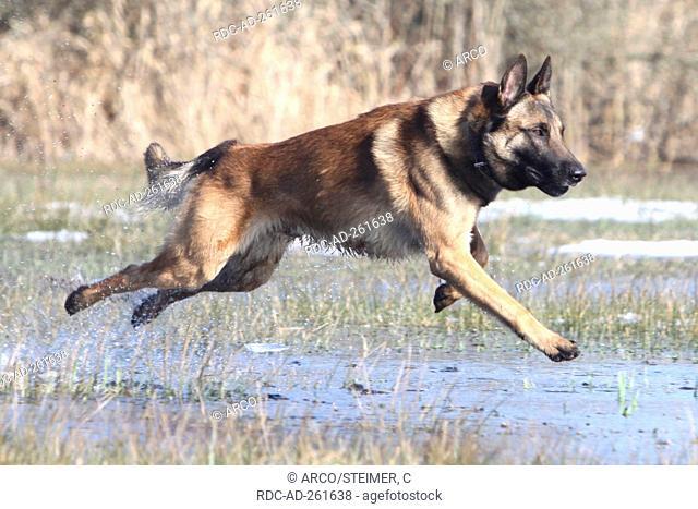 Belgian Shepherd / Malinois