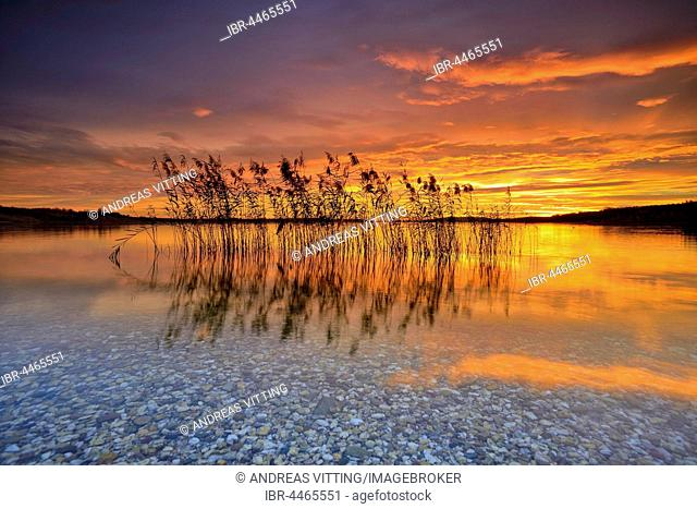 Reeds reflected in the Lake Geiseltalsee at sunrise, Saxony-Anhalt, Germany