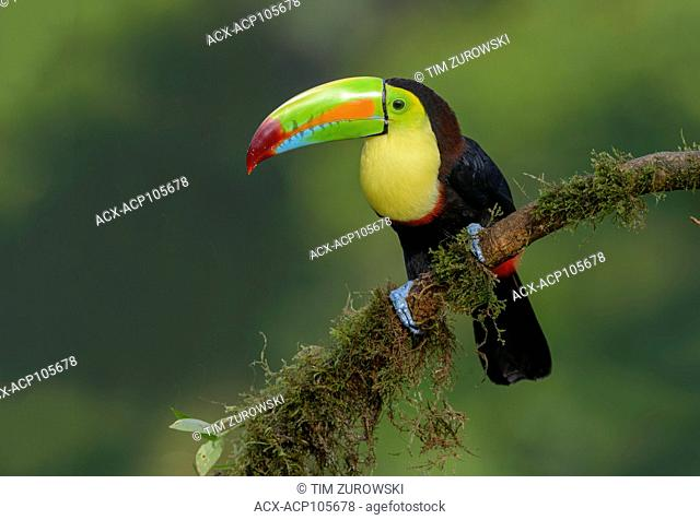 Keel-billed Toucan (Ramphastos sulfuratus) - at Laguna Lagarto Lodge near Boca Tapada, Costa Rica