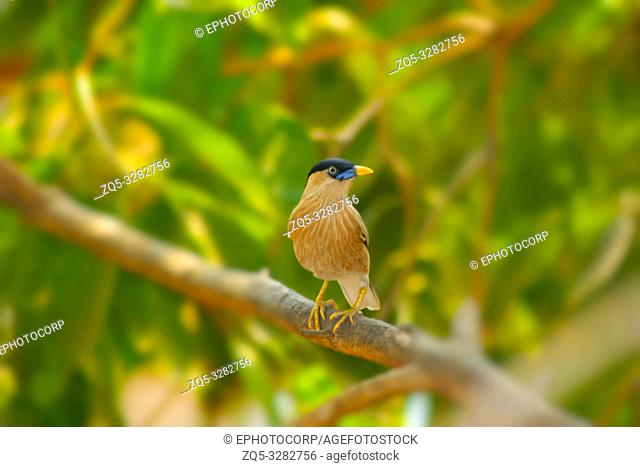 Brahminy myna or brahminy starling, Sturnia pagodarum, Lonavala, Maharashtra