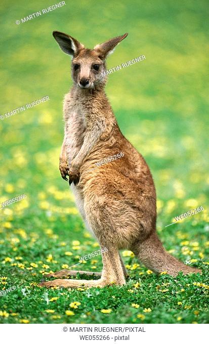 Red Kangaroo (Macropus rufus). Australia