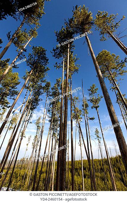Lodgepole Pine (Pinus contorta), Yellowstone National Park, Idaho, Montana and Wyoming, USA