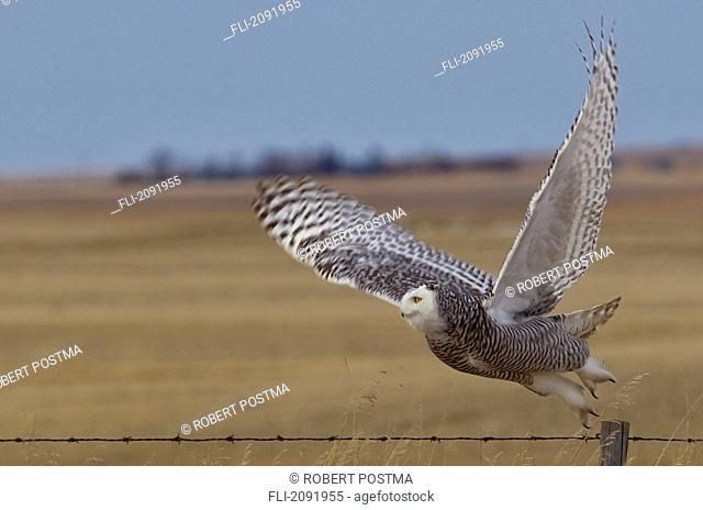 Snowy owl taking flight off barbed wire fence, saskatchewan canada