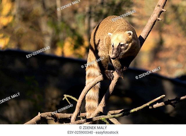 South American coati (Nasua nasua), known as the ring-tailed coati
