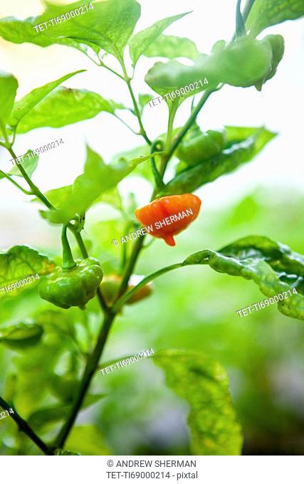 Pepper on twig