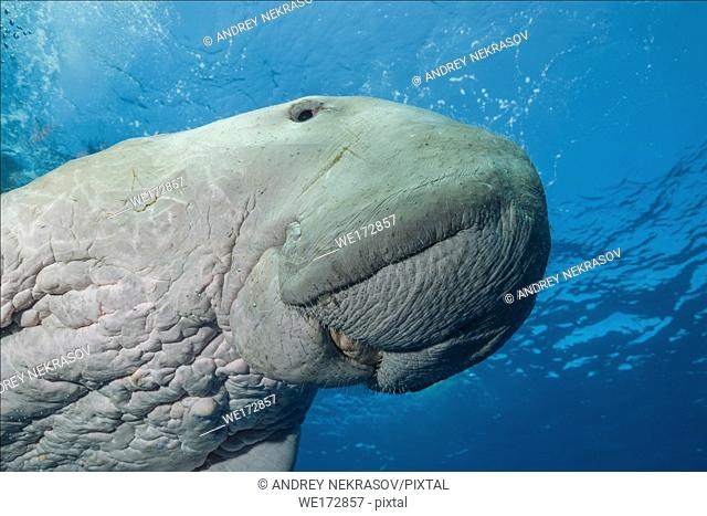 Portrait of Dugong or Sea Cow (Dugong dugon) swims under surface of the blue water. Red Sea, Hermes Bay, Marsa Alam, Egypt, Africa