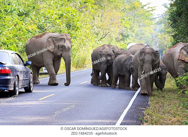 Herd of Asian Elephant Elephas maximus walking along road full of vehicles  Khao Yai National Park  Thailand
