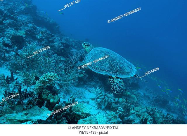 Hawksbill sea turtle (Eretmochelys imbricata) swim over coral reef