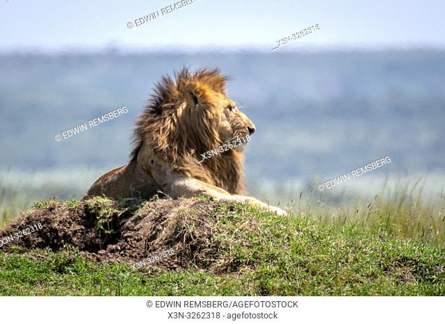 Male lion (Panthera leo) in Maasai Mara National Park, Kenya, Africa