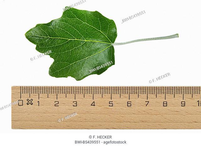 white poplar, silver-leaved poplar, abele (Populus alba), poplar leaf, upper side, cutout, with ruler