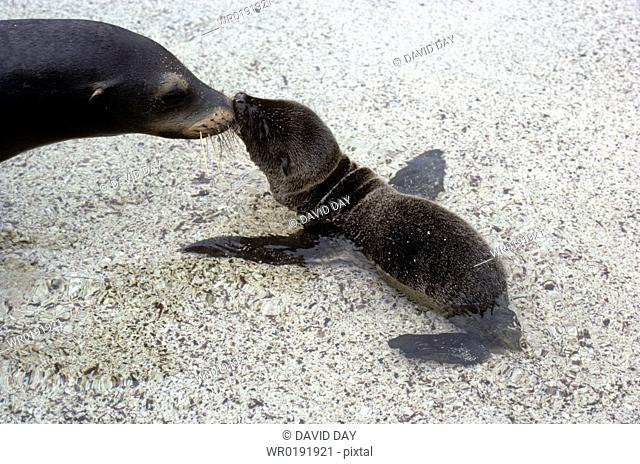 Mother and new born Galapagos sea lion sniffing each other Zalophus californianus wollbaeki Punta Suarez, EspaÒola Island, Galapagos, Ecuador